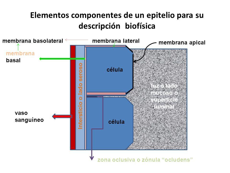 Elementos componentes de un epitelio para su descripción biofísica