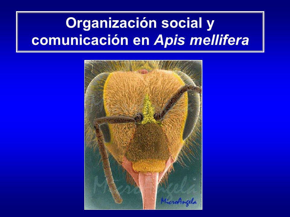 Organización social y comunicación en Apis mellifera
