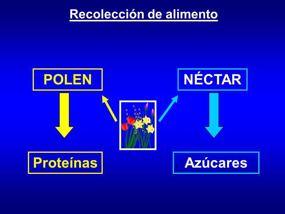 POLEN NÉCTAR Proteínas Azúcares