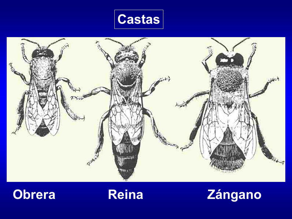 Castas Obrera Reina Zángano