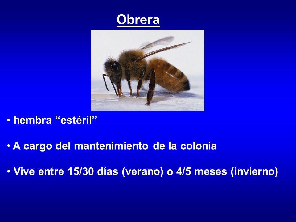 Obrera hembra estéril A cargo del mantenimiento de la colonia