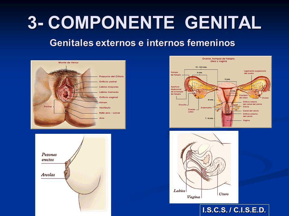 Genitales externos e internos femeninos