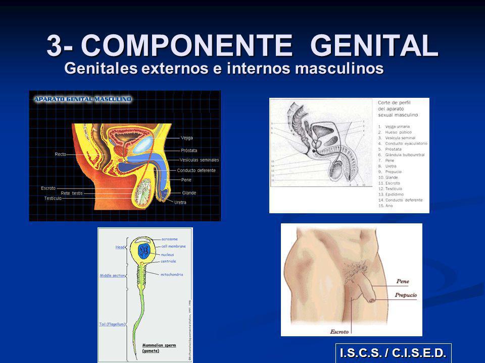 Genitales externos e internos masculinos