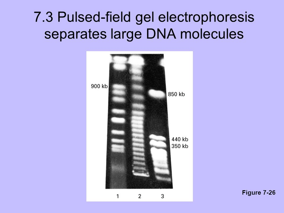 7.3 Pulsed-field gel electrophoresis separates large DNA molecules