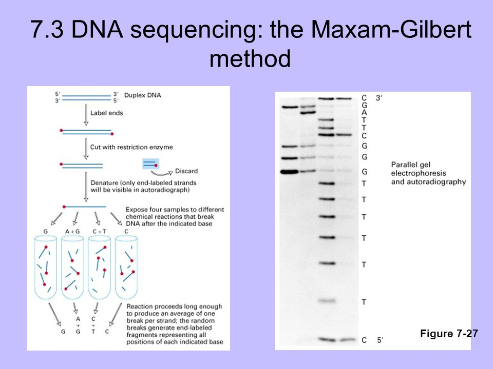 7.3 DNA sequencing: the Maxam-Gilbert method