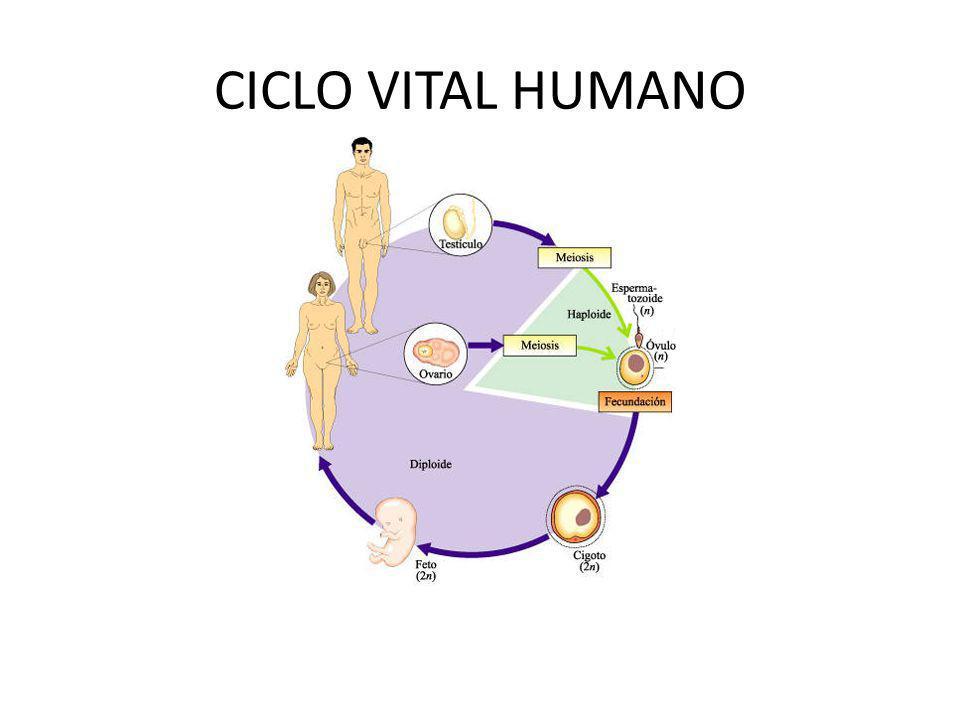 CICLO VITAL HUMANO