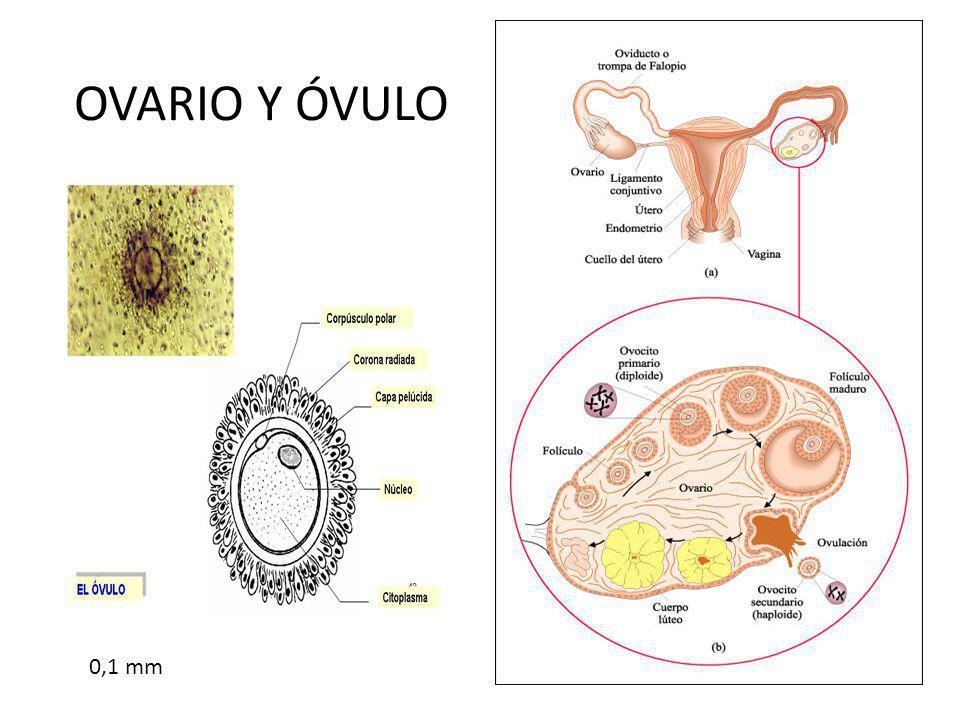 OVARIO Y ÓVULO 0,1 mm
