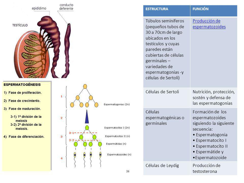 Producción de espermatozoides