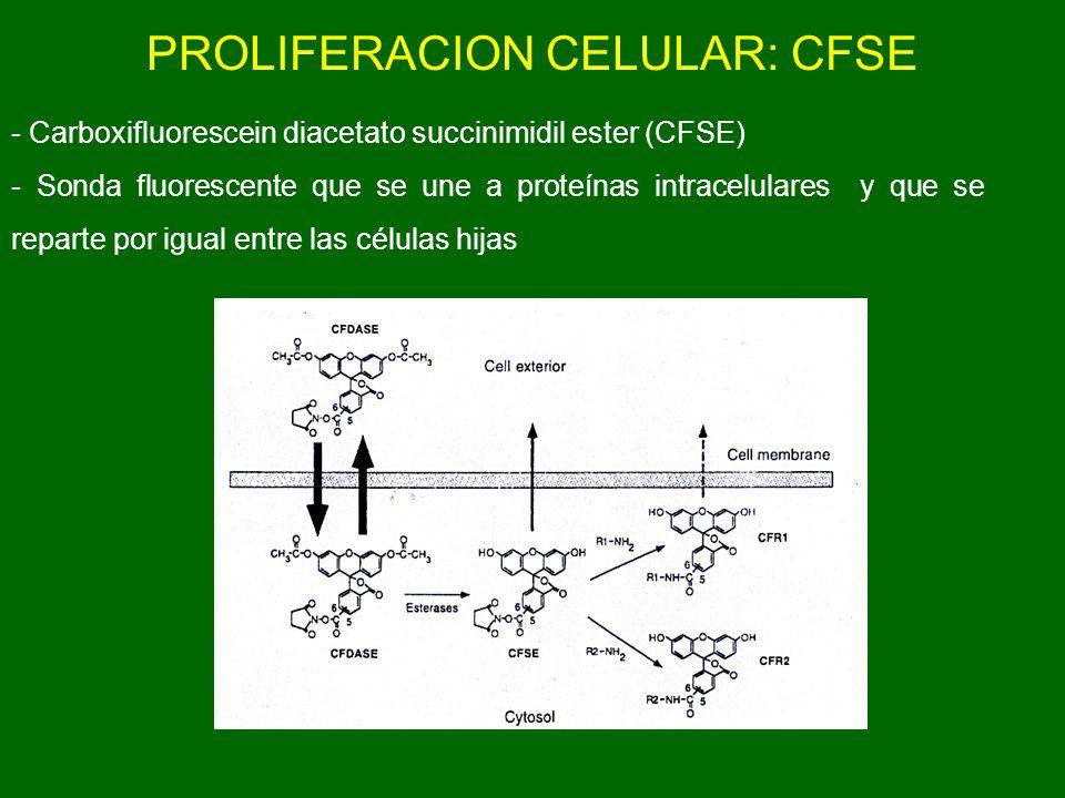 PROLIFERACION CELULAR: CFSE
