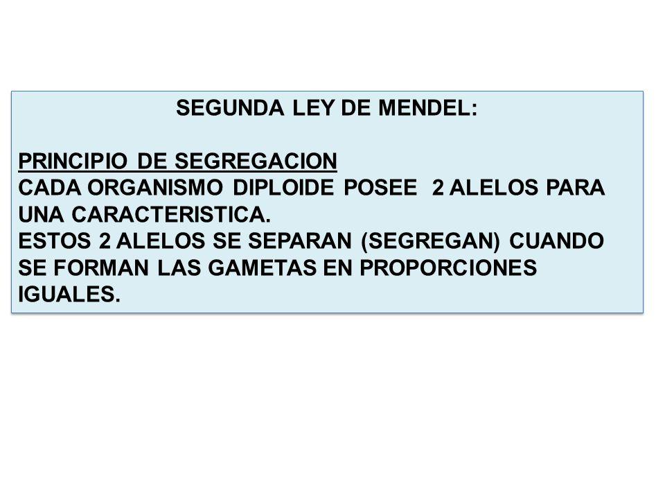 SEGUNDA LEY DE MENDEL: PRINCIPIO DE SEGREGACION. CADA ORGANISMO DIPLOIDE POSEE 2 ALELOS PARA UNA CARACTERISTICA.