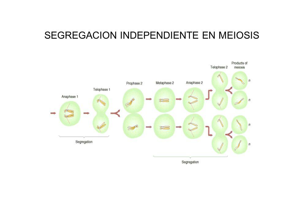 SEGREGACION INDEPENDIENTE EN MEIOSIS