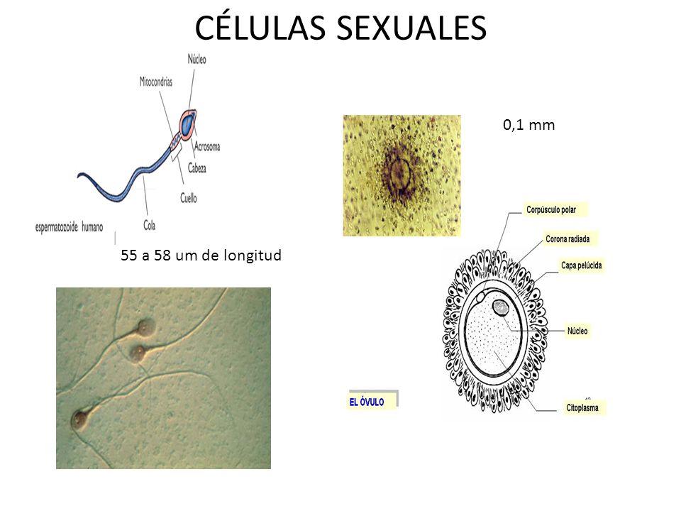 CÉLULAS SEXUALES 0,1 mm 55 a 58 um de longitud