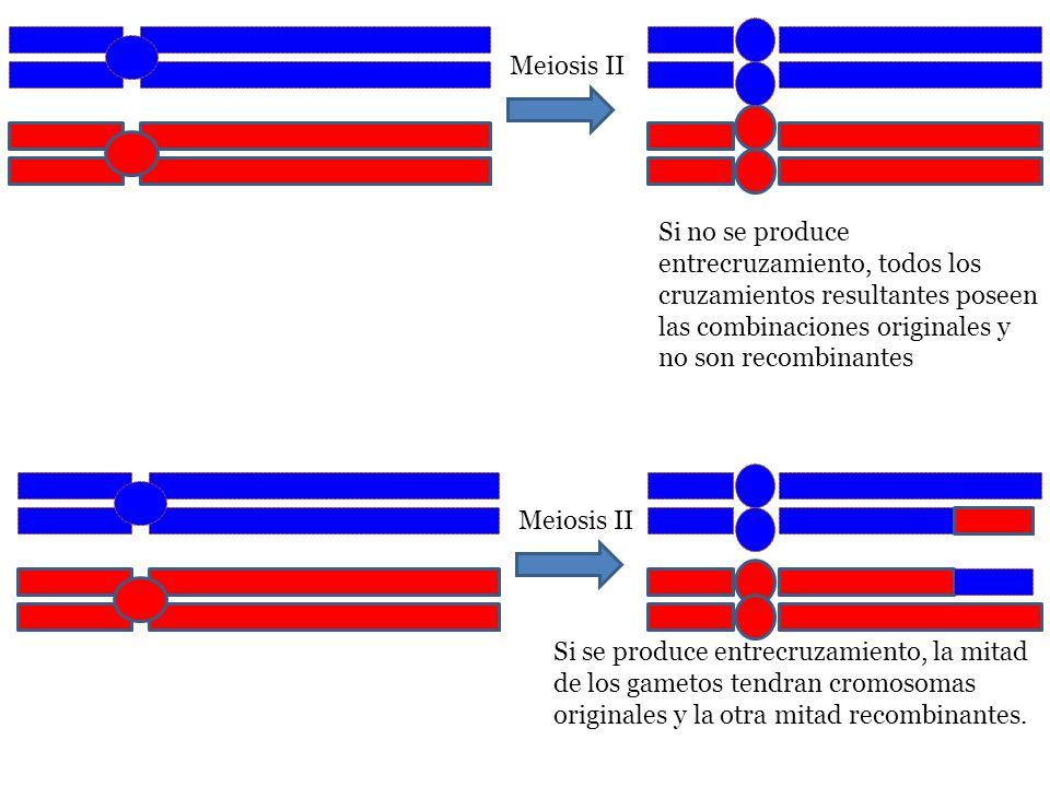 Meiosis II Si no se produce entrecruzamiento, todos los cruzamientos resultantes poseen las combinaciones originales y no son recombinantes.