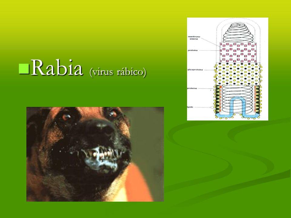 Rabia (virus rábico)