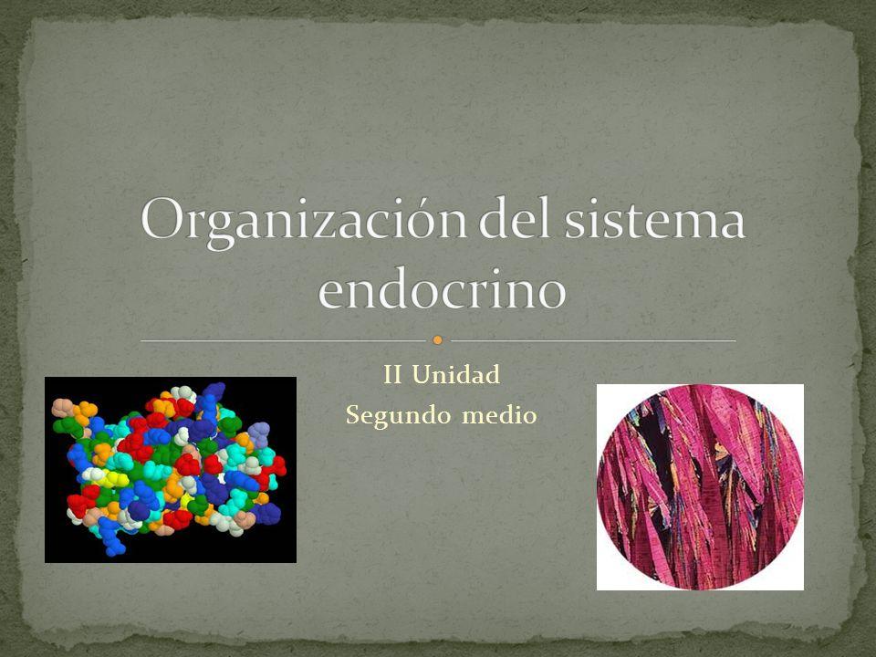 Organización del sistema endocrino