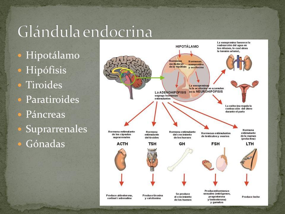 Glándula endocrina Hipotálamo Hipófisis Tiroides Paratiroides Páncreas