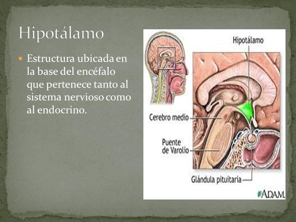 Hipotálamo Estructura ubicada en la base del encéfalo que pertenece tanto al sistema nervioso como al endocrino.