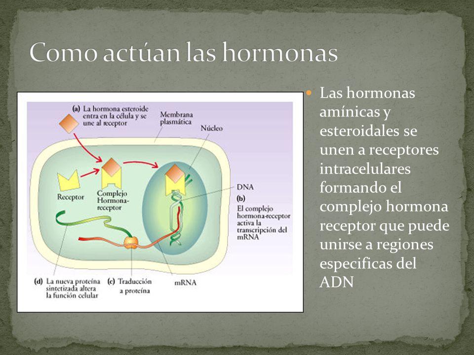 Como actúan las hormonas