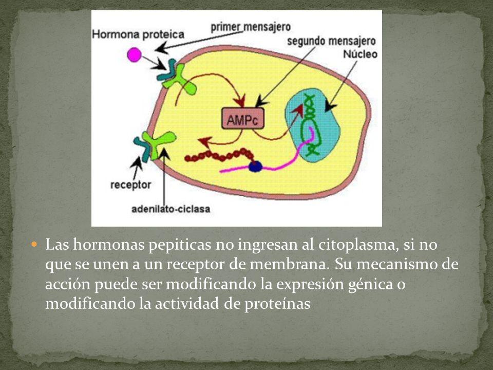 Las hormonas pepiticas no ingresan al citoplasma, si no que se unen a un receptor de membrana.