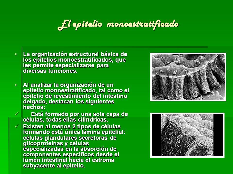 El epitelio monoestratificado