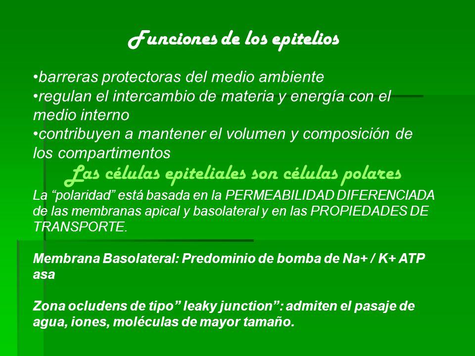 Funciones de los epitelios