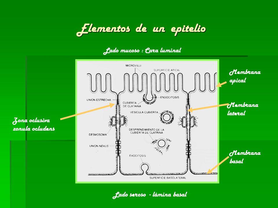 Elementos de un epitelio