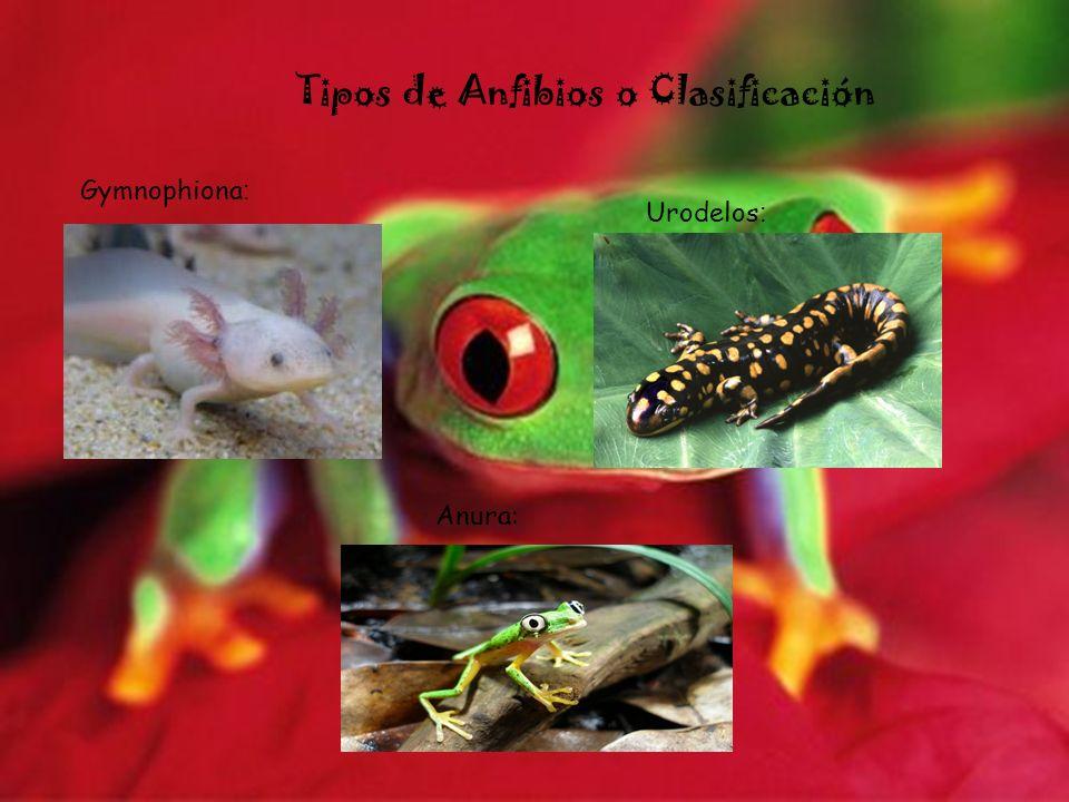 Tipos de Anfibios o Clasificación