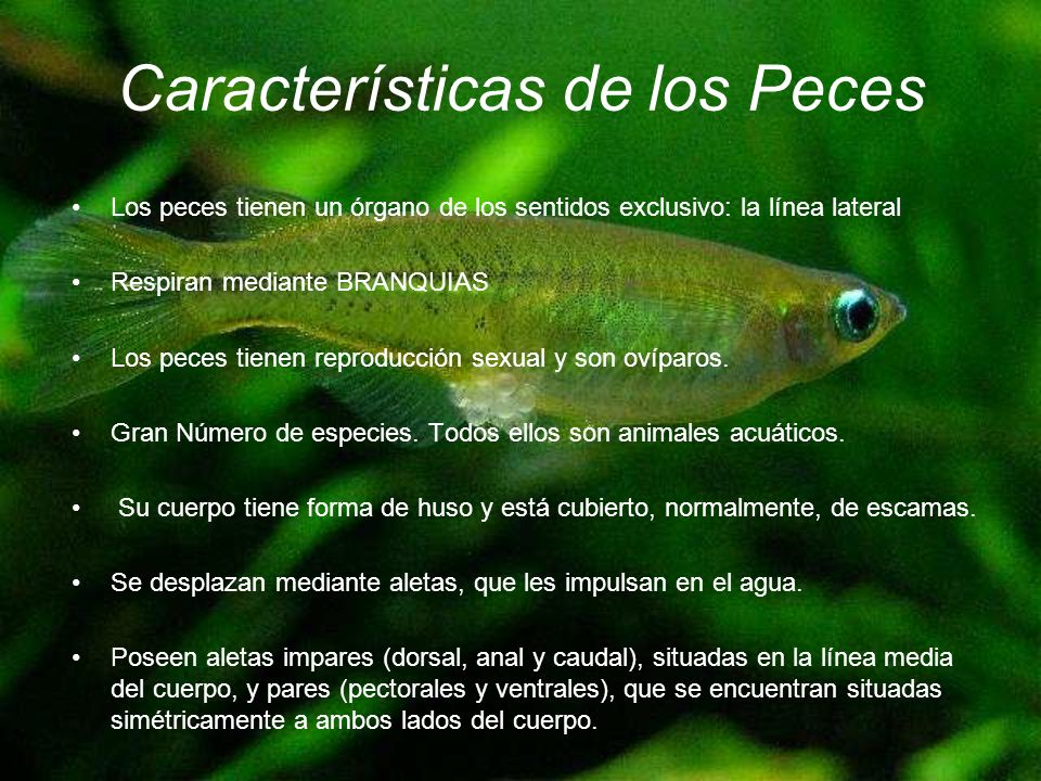 Evoluci n peces y anfibios ppt descargar for La reproduccion de los peces