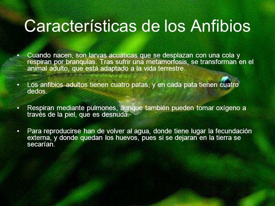 Características de los Anfibios