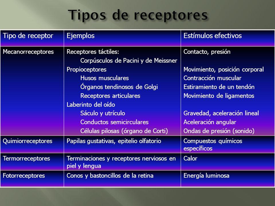 Tipos de receptores Tipo de receptor Ejemplos Estímulos efectivos