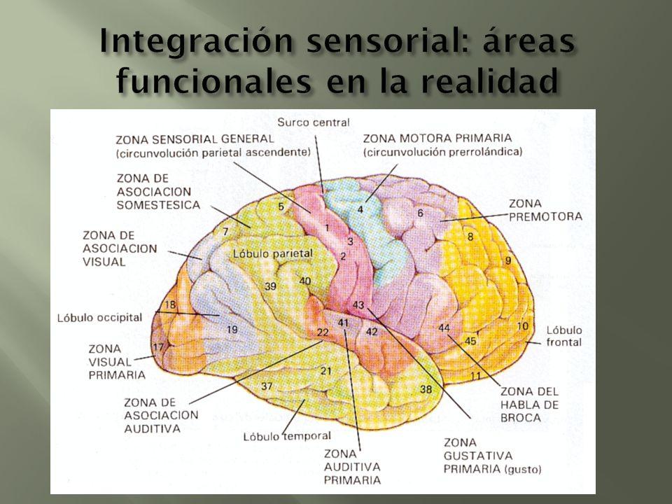 Integración sensorial: áreas funcionales en la realidad