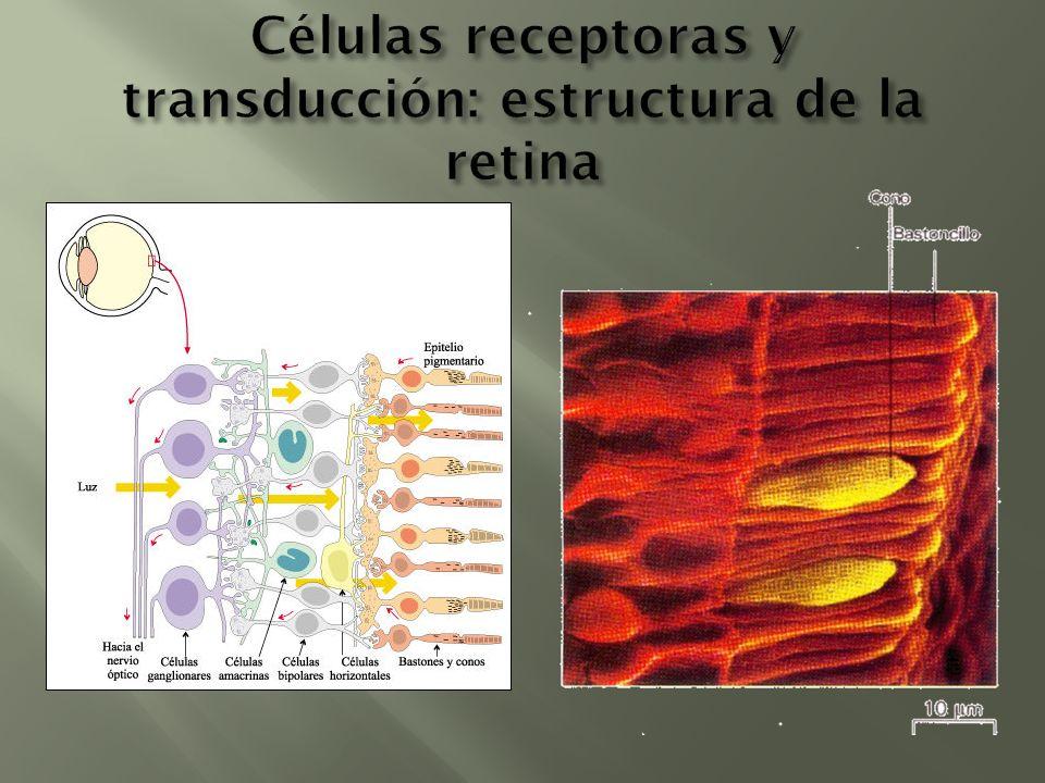 Células receptoras y transducción: estructura de la retina