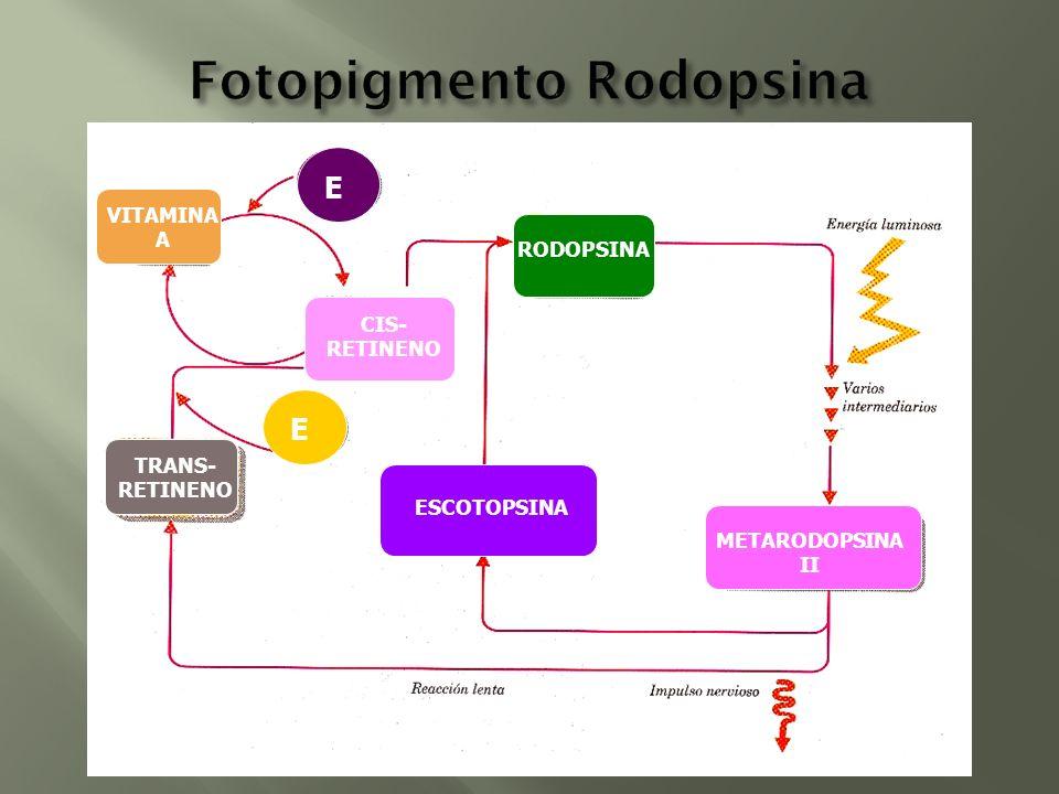 Fotopigmento Rodopsina