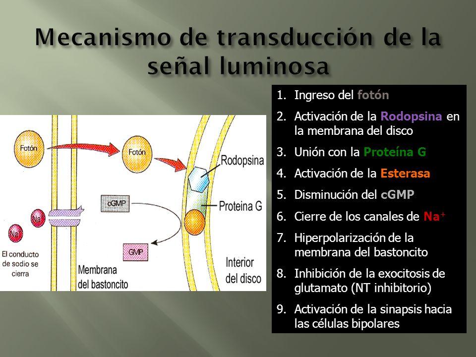 Mecanismo de transducción de la señal luminosa
