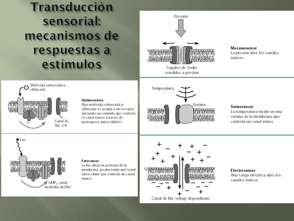 Transducción sensorial: mecanismos de respuestas a estímulos