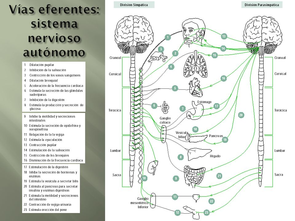 Vías eferentes: sistema nervioso autónomo