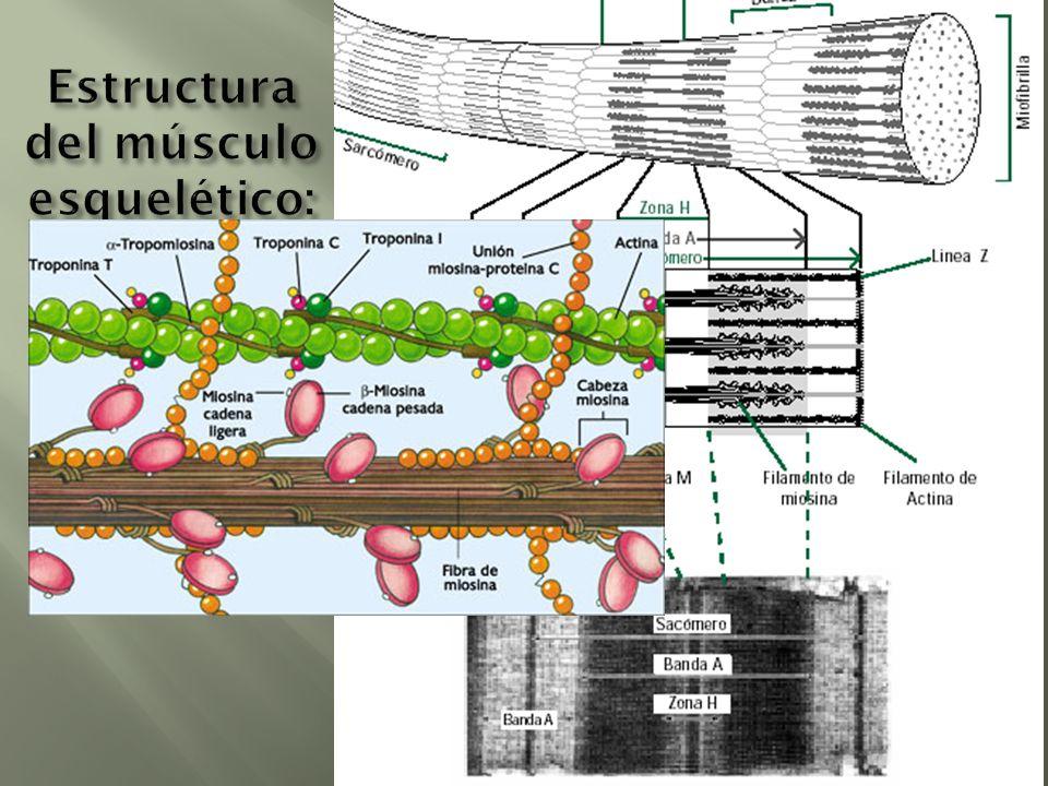 Estructura del músculo esquelético: sarcómero
