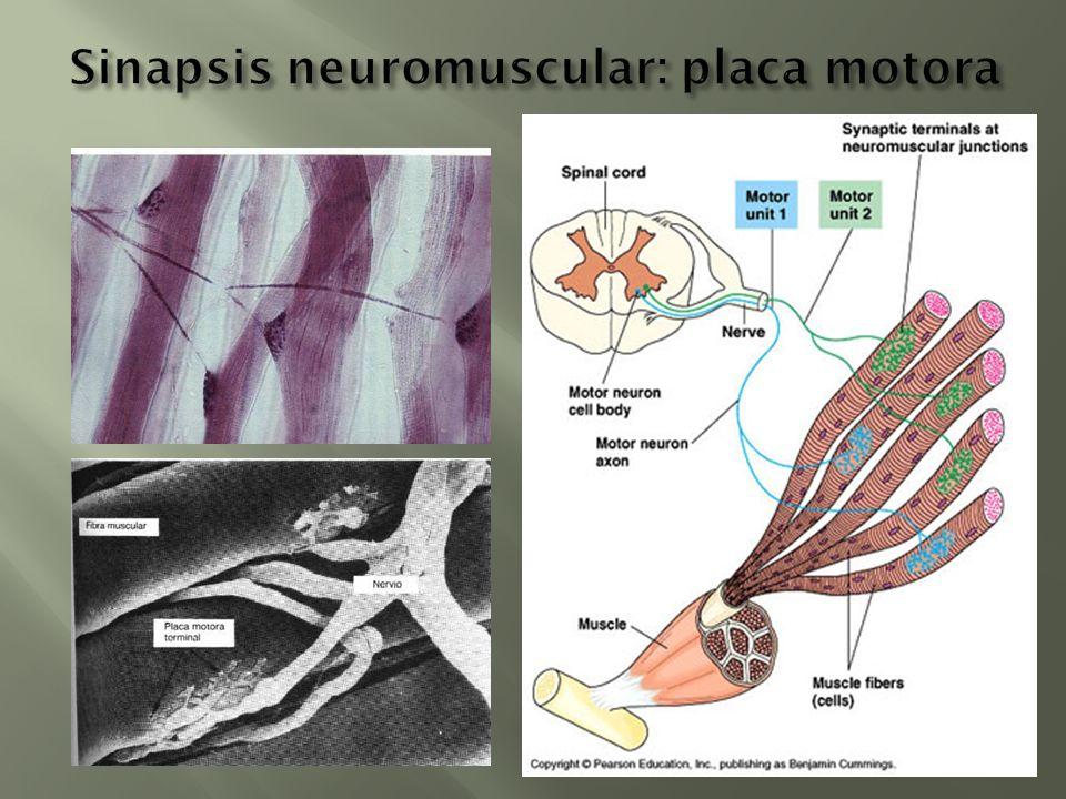 Sinapsis neuromuscular: placa motora