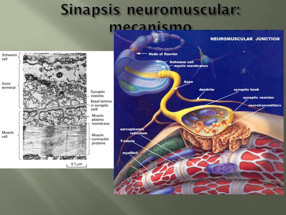 Sinapsis neuromuscular: mecanismo