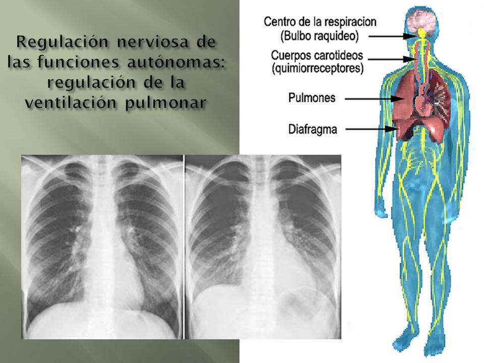 Regulación nerviosa de las funciones autónomas: regulación de la ventilación pulmonar