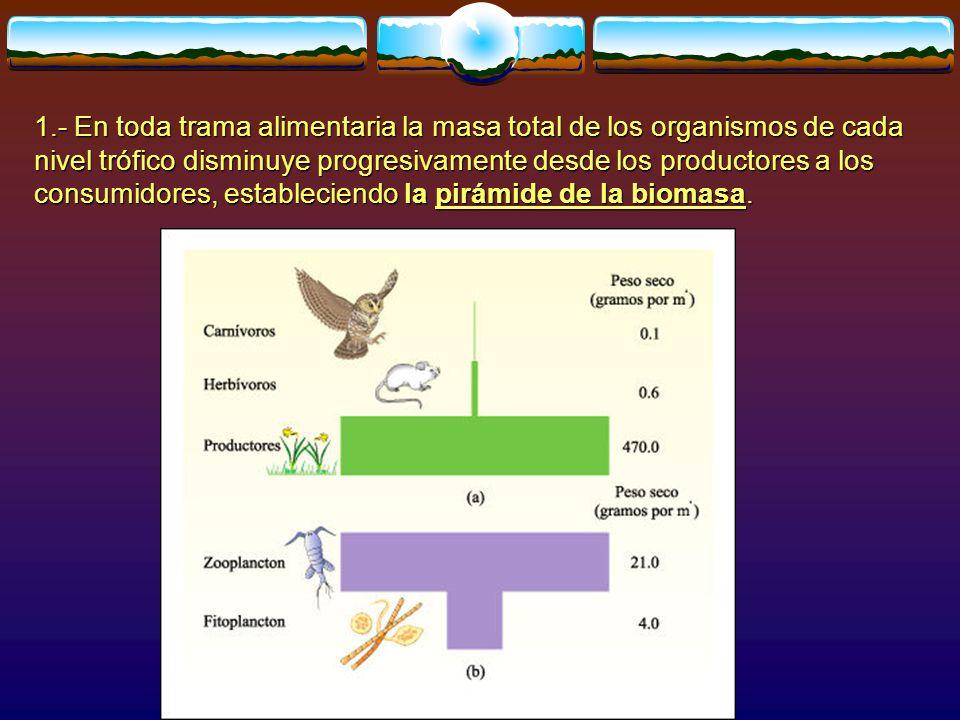 1.- En toda trama alimentaria la masa total de los organismos de cada nivel trófico disminuye progresivamente desde los productores a los consumidores, estableciendo la pirámide de la biomasa.