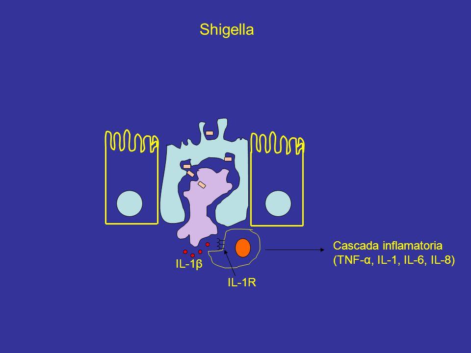 Shigella Cascada inflamatoria (TNF-α, IL-1, IL-6, IL-8) IL-1β IL-1R