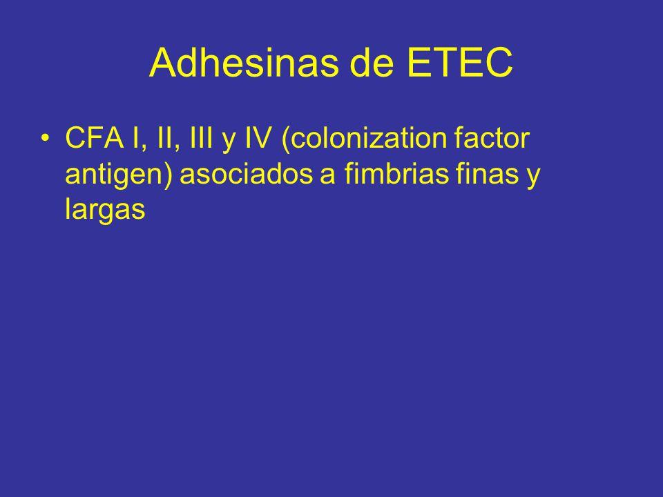 Adhesinas de ETEC CFA I, II, III y IV (colonization factor antigen) asociados a fimbrias finas y largas.