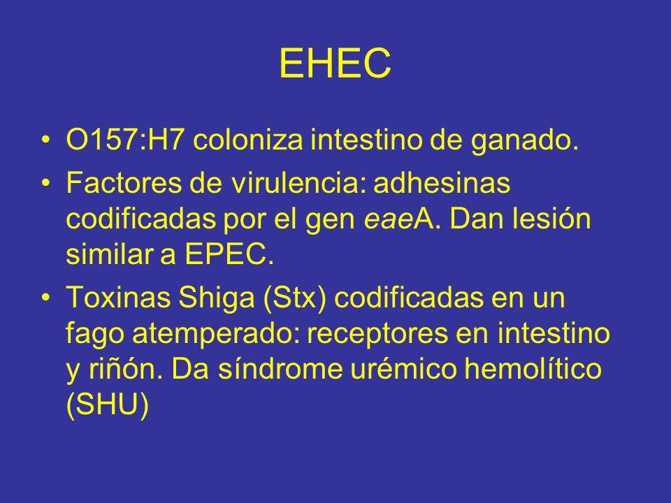 EHEC O157:H7 coloniza intestino de ganado.