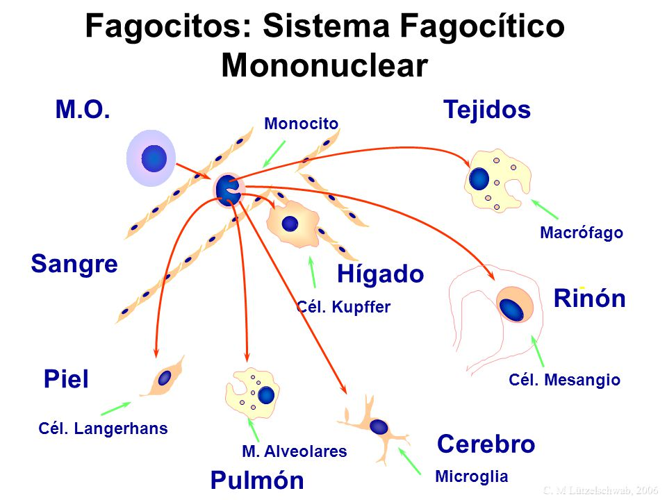 Fagocitos: Sistema Fagocítico Mononuclear
