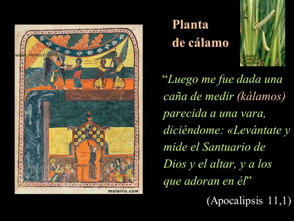 Planta de cálamo (Apocalipsis 11,1)