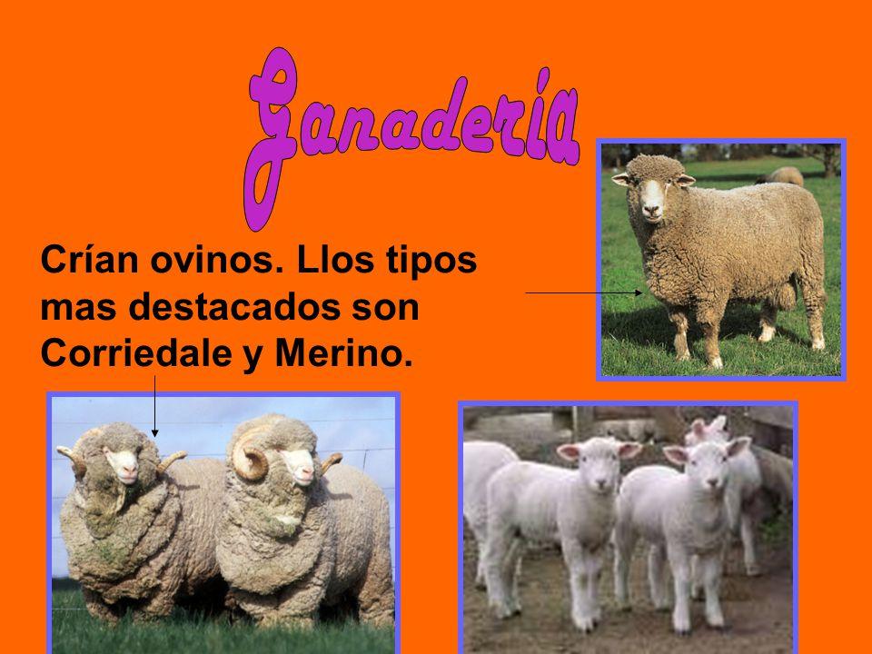 Ganadería Crían ovinos. Llos tipos mas destacados son Corriedale y Merino.