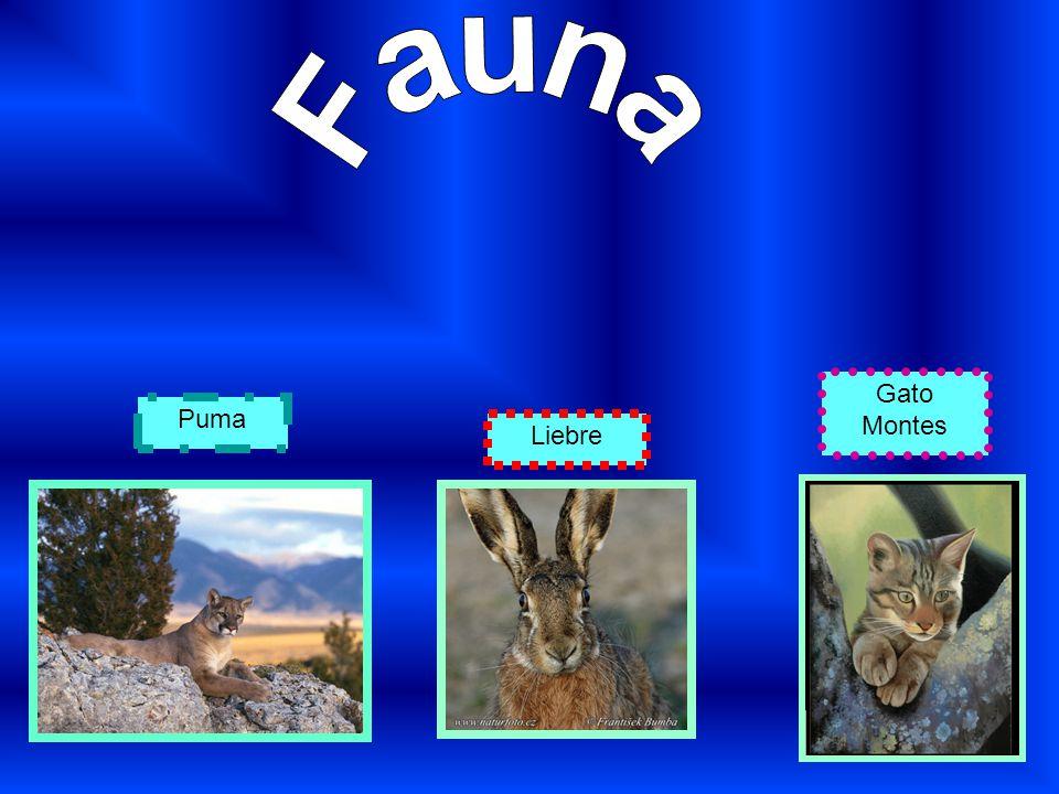 Fauna Gato Montes Puma Liebre
