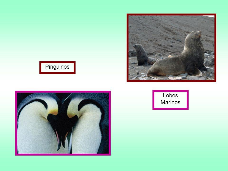 Pingüinos Lobos Marinos