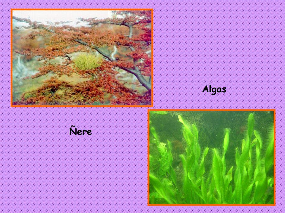 Algas Ñere